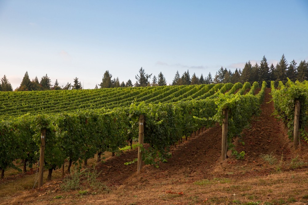 Hawks View vineyards with fresh soil